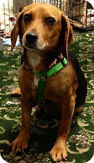 Beagle Dog for adoption in Detroit, Michigan - Valentine