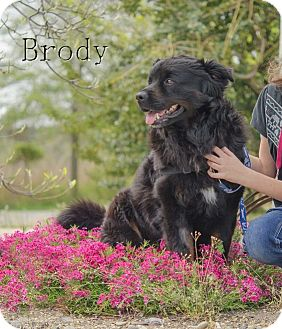 Newfoundland/Rottweiler Mix Dog for adoption in Chester, Maryland - Brody