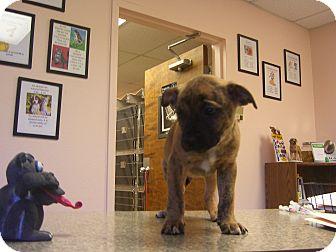 Labrador Retriever/Boxer Mix Puppy for adoption in Kelseyville, California - Clinton
