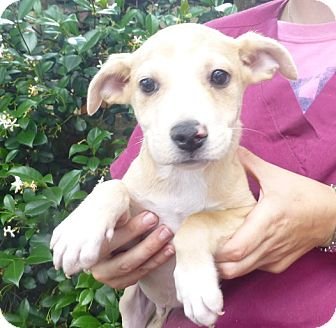 Beagle/Terrier (Unknown Type, Medium) Mix Puppy for adoption in Oviedo, Florida - RJ