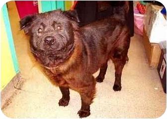 Labrador Retriever/Flat-Coated Retriever Mix Dog for adoption in New York, New York - China