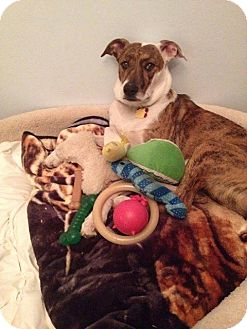 Terrier (Unknown Type, Medium)/Whippet Mix Puppy for adoption in East Rockaway, New York - Kelly