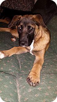 Akita Mix Puppy for adoption in Virginia Beach, Virginia - Grayson
