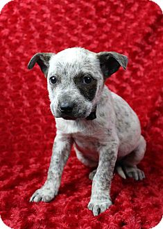 Blue Heeler/Pit Bull Terrier Mix Puppy for adoption in Westminster, Colorado - Poplin