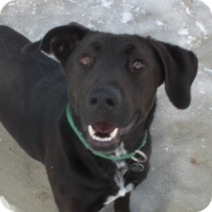 Labrador Retriever Mix Dog for adoption in Naperville, Illinois - Jax