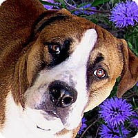 Adopt A Pet :: Bruno BIG BOY URGENT - Sacramento, CA