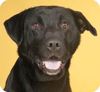 Labrador Retriever Mix Dog for adoption in Chicago, Illinois - Grizz (ADOPTED!)