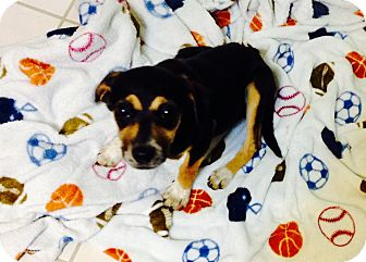 Corgi/Shepherd (Unknown Type) Mix Puppy for adoption in Saddle Brook, New Jersey - LuLu