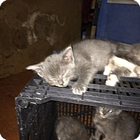 Adopt A Pet :: kittens3 - Weatherford, TX