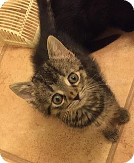 Maine Coon Kitten for adoption in Medford, New Jersey - Jenny (Fluffy's Kittens)
