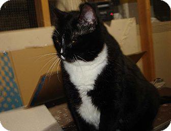 Domestic Shorthair Cat for adoption in Overland Park, Kansas - Beckie