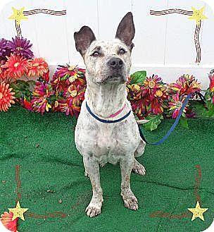 Australian Cattle Dog Mix Dog for adoption in Lebanon, Maine - Tabitha-LOCAL