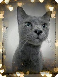Russian Blue Cat for adoption in Trevose, Pennsylvania - Woodstock