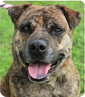 Catahoula Leopard Dog Mix Dog for adoption in Red Bluff, California - GUNNY-spayed, Low Fees/spayed