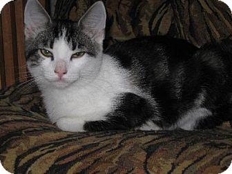Domestic Shorthair Kitten for adoption in Walnutport, Pennsylvania - Frisbee