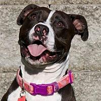 Pit Bull Terrier Mix Dog for adoption in St. Louis, Missouri - Paris
