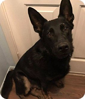 German Shepherd Dog Mix Dog for adoption in Detroit, Michigan - Quincy-Adopted!