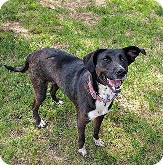 Labrador Retriever Mix Dog for adoption in Lisbon, Ohio - Claudette