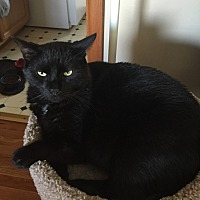 Bombay Cat for adoption in Saint Louis, Missouri - Andre
