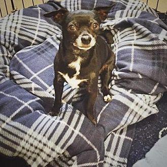 Chihuahua Mix Dog for adoption in Denver, Colorado - Scrappy