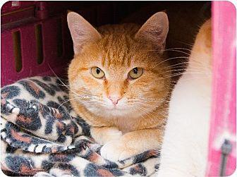 Domestic Shorthair Cat for adoption in Corinne, Utah - Toffee