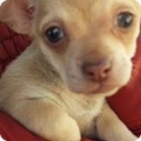 Adopt A Pet :: Nikki - El Cajon, CA