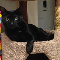 Domestic Shorthair Cat for adoption in River Edge, New Jersey - Diablo