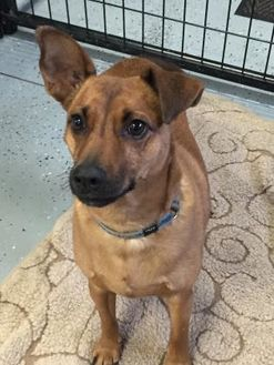 Miniature Pinscher Mix Dog for adoption in Athabasca, Alberta - George