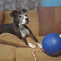 American Staffordshire Terrier Mix Dog for adoption in Clarksville, Tennessee - Lexi