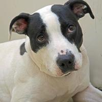 American Pit Bull Terrier Mix Dog for adoption in Noblesville, Indiana - Sheba Ann