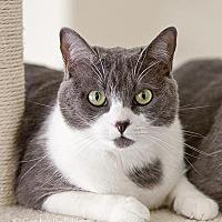 Adopt A Pet :: Bella Kitty - Orange, CA