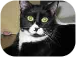 Domestic Shorthair Cat for adoption in Las Vegas, Nevada - Felixa