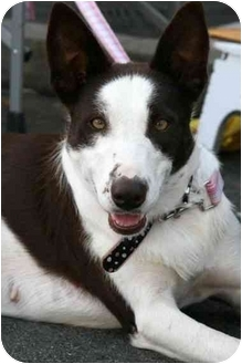 Border Collie Dog for adoption in San Pedro, California - RUBY