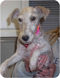 Wirehaired Fox Terrier Dog for adoption in Port Jefferson Station, New York - Joy