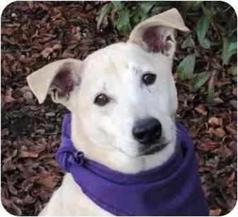 Labrador Retriever/Shepherd (Unknown Type) Mix Dog for adoption in San Diego, California - Taffy