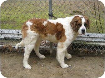 St. Bernard Mix Dog for adoption in Sudbury, Massachusetts - BOUNTY