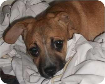 Boxer Mix Puppy for adoption in Foster, Rhode Island - Josephine