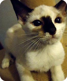 Siamese Kitten for adoption in Jacksonville, Florida - Laina