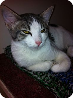 Domestic Shorthair Cat for adoption in Phoenix, Arizona - RAMBO