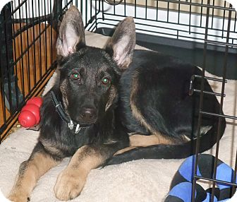 German Shepherd Dog Puppy for adoption in Rigaud, Quebec - Kody