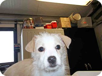 Terrier (Unknown Type, Small) Mix Puppy for adoption in Las Vegas, Nevada - Faith
