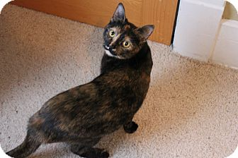 Domestic Shorthair Cat for adoption in Grand Rapids, Michigan - Maple
