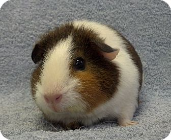 Guinea Pig for adoption in Lewisville, Texas - Giblet