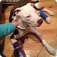 Adopt A Pet :: Bobby Tucker - Clarksburg, MD