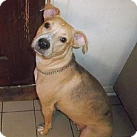 Adopt A Pet :: Shelley  (305) 253-8103 - Miami, FL