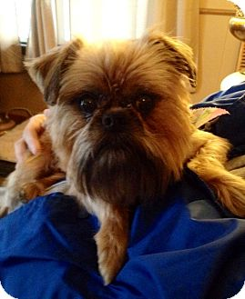 Brussels Griffon Dog for adoption in Chicago, Illinois - JIMMY: Adopted