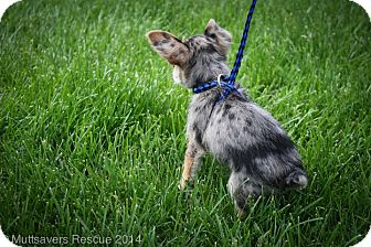 Toy Fox Terrier Mix Puppy for adoption in Broomfield, Colorado - Blue