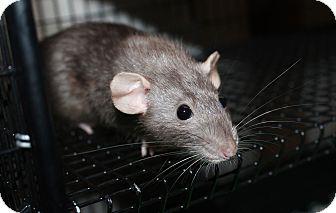 Rat for adoption in Austin, Texas - Thumper