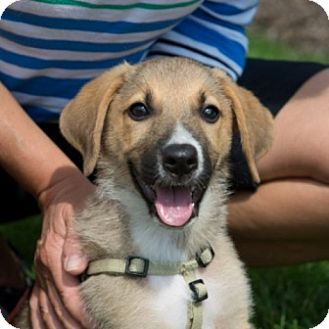 Shepherd (Unknown Type)/Hound (Unknown Type) Mix Puppy for adoption in Mt. Prospect, Illinois - Fontina
