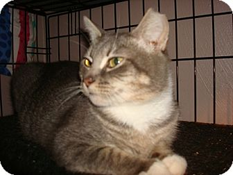 Domestic Shorthair Cat for adoption in Chesapeake, Virginia - Baby Girl